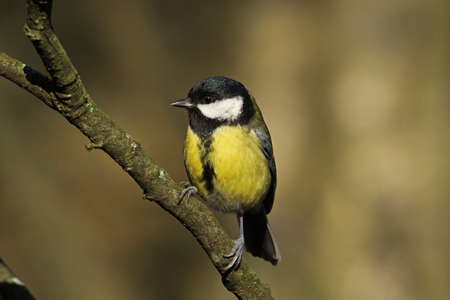 parus major: Great Tit  (Parus major)
