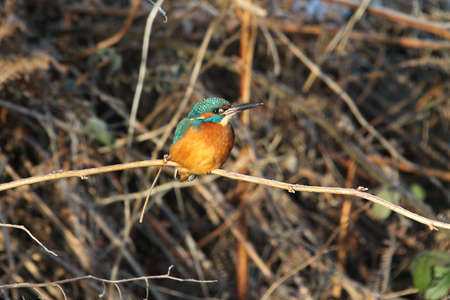 alcedo: Kingfisher  (Alcedo atthis) Stock Photo