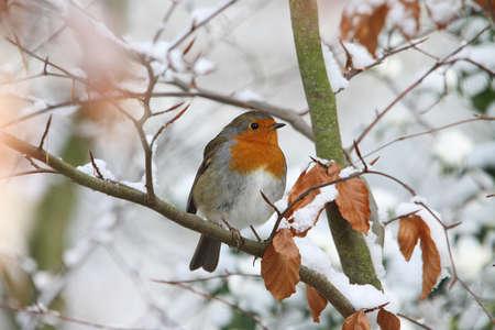 rubecula: Robin (Erithacus rubecula)