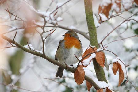 Robin (Erithacus rubecula) photo