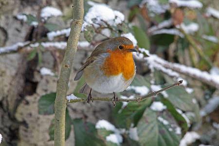 christmas robin: Robin (Erithacus rubecula)