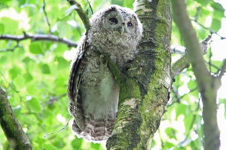 fledgling: Tawny Owl  (Strix aluco)  fledgling