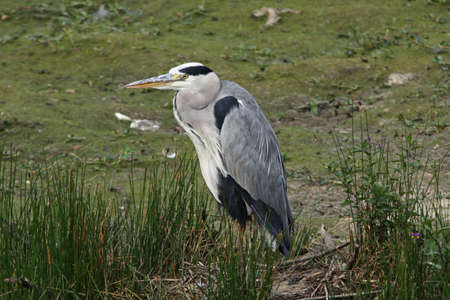 cinerea: Grey Heron  (Ardea cinerea) Stock Photo