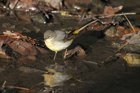 motacilla: Grey Wagtail  (Motacilla cinerea) Stock Photo