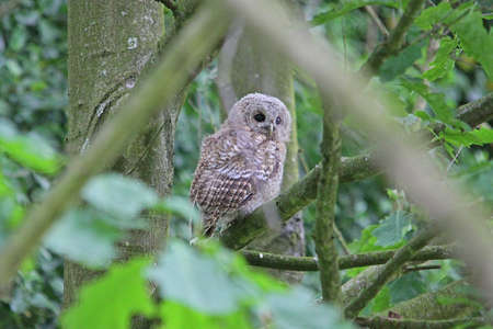 tawny owl: Tawny Owl  (Strix aluco) fledgling Stock Photo