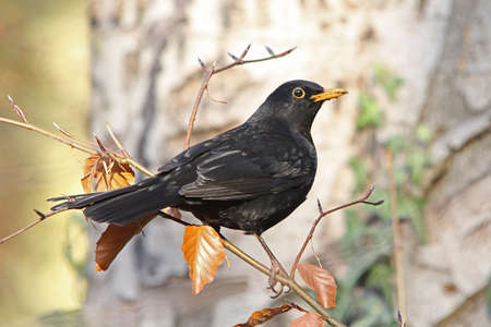 Blackbird  (Turdus merula) Stock Photo - 10459071