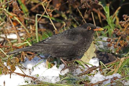 turdus: Blackbird  (Turdus merula) Stock Photo