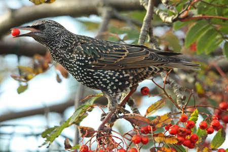 vulgaris: Starling  (Sturnus vulgaris)