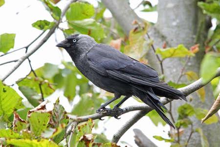 Jackdaw  (Corvus monedula) photo
