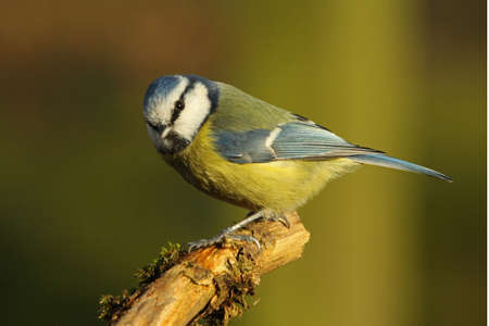 caeruleus: Blue Tit Parus caeruleus