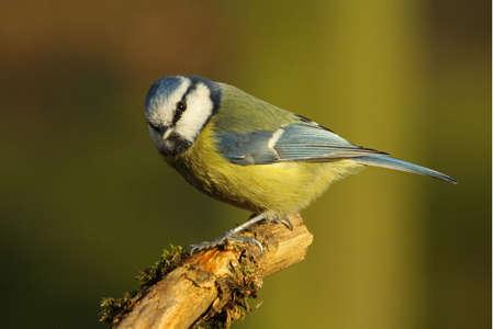 blue tit: M�sange bleue Parus caeruleus