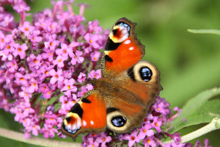 peacock butterfly: Peacock Butterfly, Inachis io