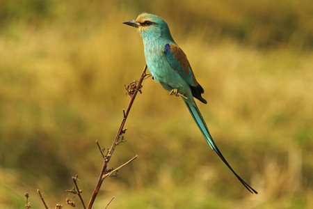 Abyssinian Roller, Coracias abyssiniica Stock Photo - 13330771