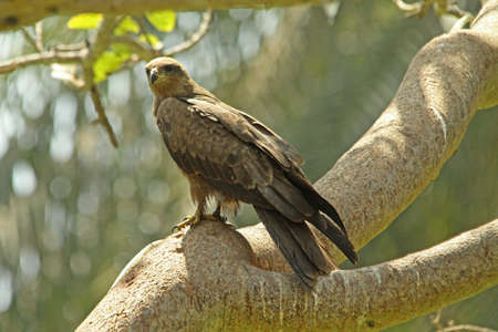 milvus: Black Kite, Milvus migrans,