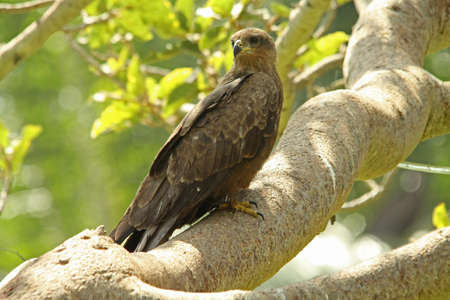 black kite: Black Kite, Milvus migrans Stock Photo