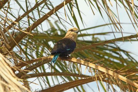 Blue-bellied Roller, Coracias cyanogastor, Stock Photo - 13330866