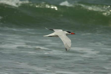 Caspian Tern, Sterna caspia, Stock Photo - 13330745