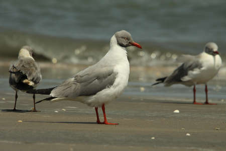 Grey-headed Gull, Larus cirrocephalus, Stock Photo - 13330743