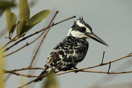 srokaty: Pied Kingfisher, Halcyon leucoephala,