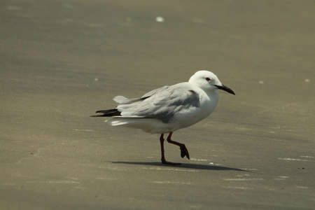 Slender-billed Gull, Larus genei, Stock Photo - 13424835