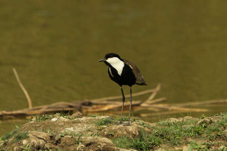 plover: Spur-winged Plover, Vanellus spinosus, Stock Photo