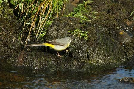Grey Wagtail, Motacilla cinerea  Juvenile  photo