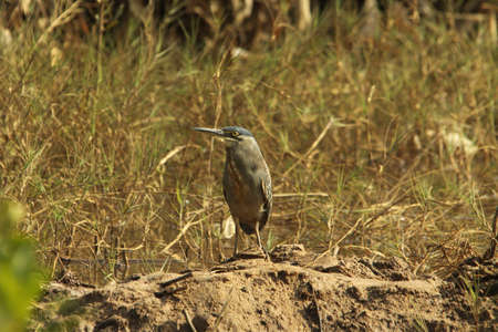 striated: Striated Heron, Butorides striatus