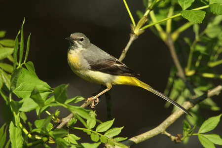 motacilla: Grey Wagtail  Motacilla cinerea  Juvenile  Stock Photo