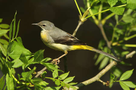cinerea: Grey Wagtail  Motacilla cinerea  Juvenile  Stock Photo