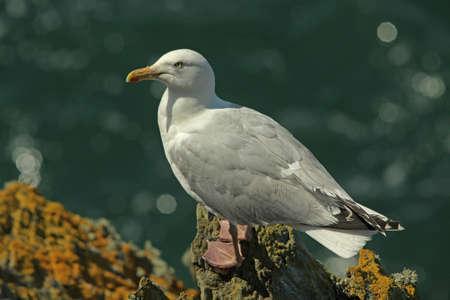 larus: Herring Gull - Larus argentatus Stock Photo