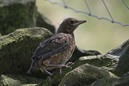 Blackbird - Turdus merula  fledgling  Stock Photo - 15131168