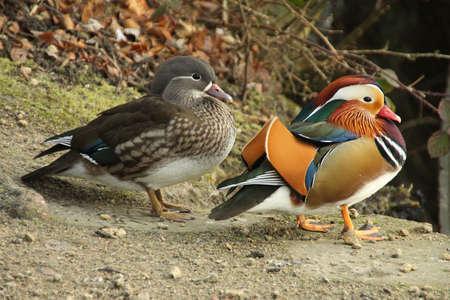 aix galericulata: Mandarin Duck - Aix galericulata  male   female  Stock Photo