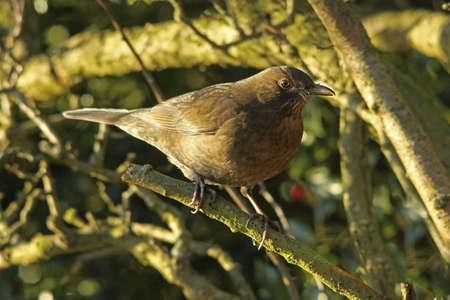 turdus: Blackbird - Turdus merula  female  Stock Photo
