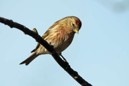 lesser: Lesser Redpoll - Carduelis cabaret