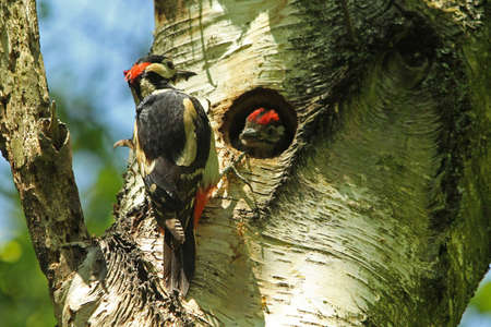 dendrocopos: Great Spotted Woodpecker - Dendrocopos major, with fledgling  Stock Photo