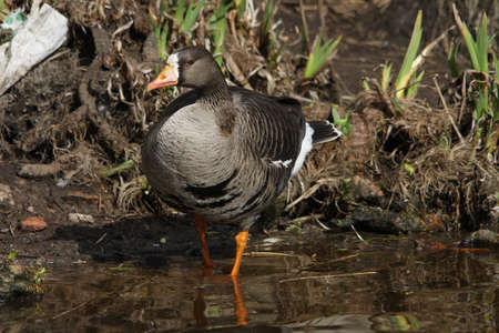 white fronted goose: White-fronted Goose - Anser albifrons Stock Photo
