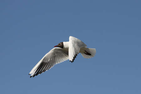 ridibundus: Black-headed Gull - Larus ridibundus Stock Photo