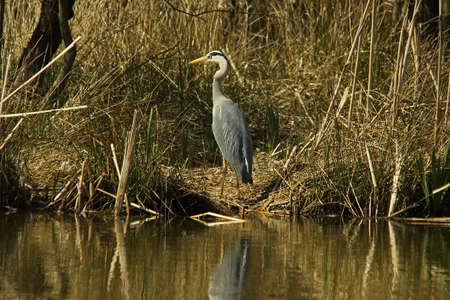 ardea cinerea: Grey Heron - Ardea cinerea Stock Photo