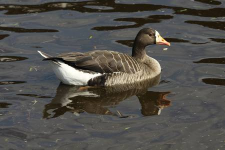 white fronted goose: White-fronted Goose - Anas albifrons