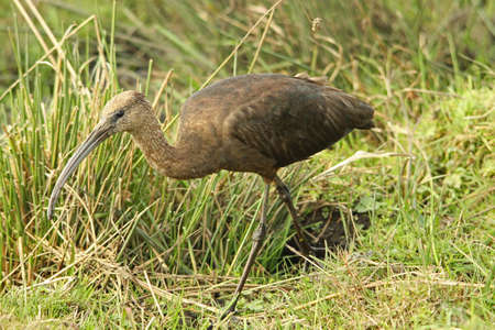 Glossy Ibis - Plegadis falcinellus photo