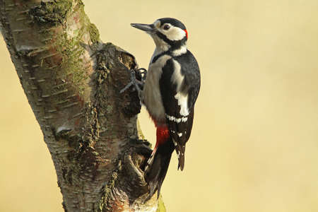 Great Spotted Woodpecker - Dendrocopos major Stock Photo