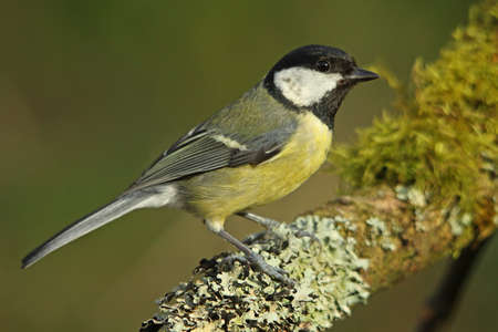parus major: Great Tit - Parus major
