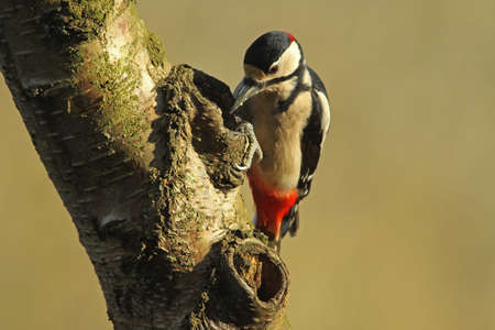 dendrocopos: Great Spotted Woodpecker - Dendrocopos major Stock Photo