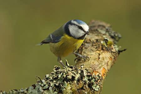 blue tit: Blue Tit - Parus caeruleus