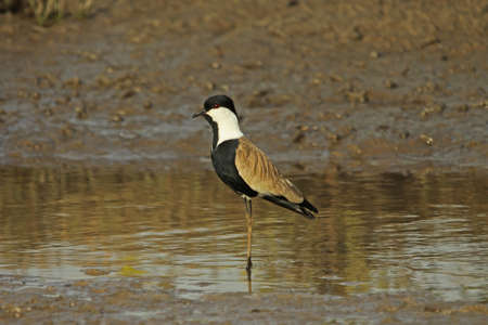 plover: Spur-winged Plover - Vanellus spinosus