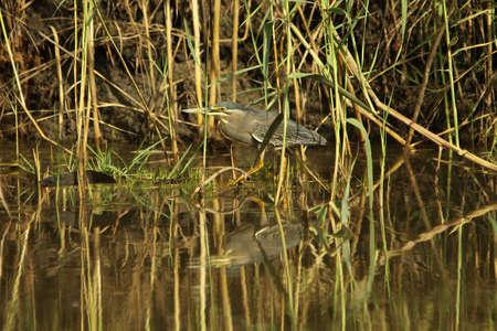 striated: Striated Heron - Butorides striatus