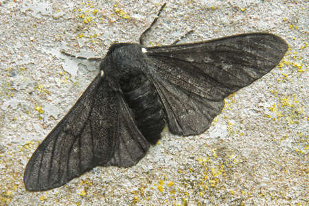 peppered: Peppered Moth - Biston betularia, f carbonaria