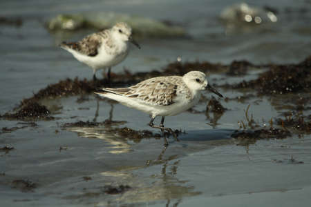 alba: Sanderling - Calidris alba Stock Photo