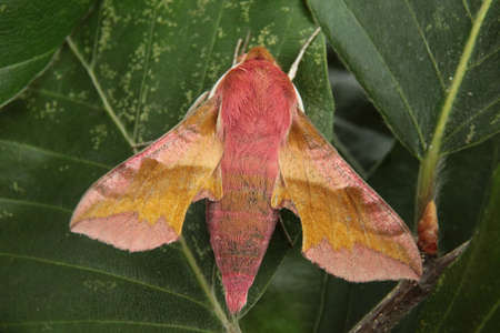 deilephila: Small Elephant Hawkmoth - Deilephila porcellus Stock Photo