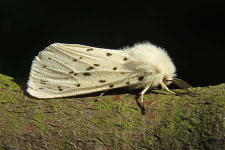 ermine: Blanco armi�o - Spilosoma lubricipeda